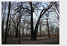 Památné stromy: Dub letní v Satalické bažantnici
