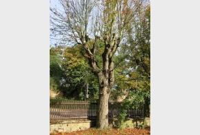 Strom zeleň